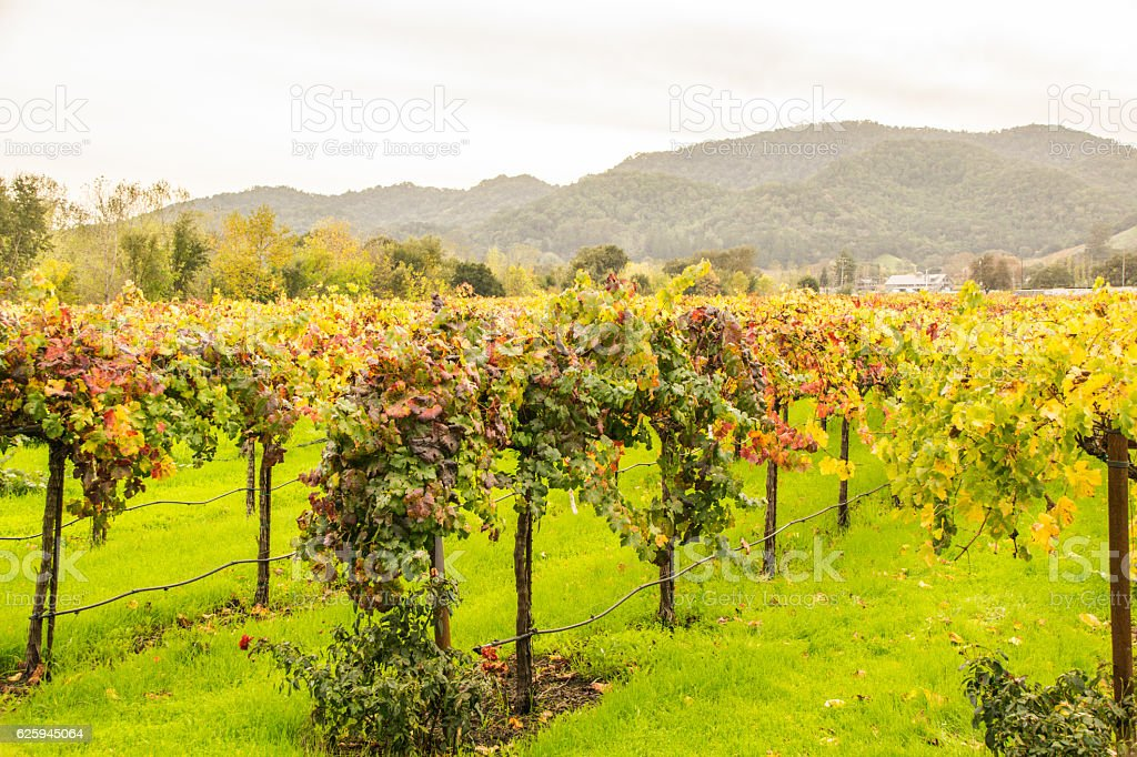 Beautiful fall colors found in a Vineyard in Napa, California.