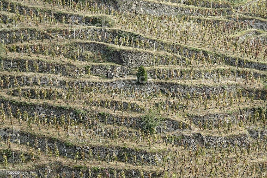 Vignobles dans le nord de la Vallée du Rhône (France - Photo