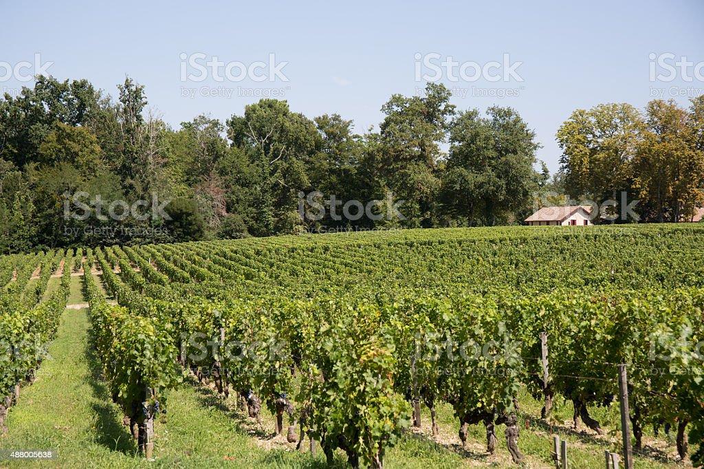 Vineyards in rows. Seedlings vines.Graft of the vines. stock photo