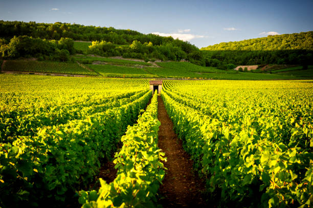 Vineyards in Savigny les Beaune, near Beaune, Burgundy, France Burgundy, a panoramic road that crosses the wine region and makes us know the major producers and their vineyards bordeaux stock pictures, royalty-free photos & images