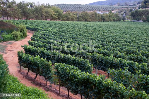 Rows of grapevines, vineyards, Stellenbosch, South Africa