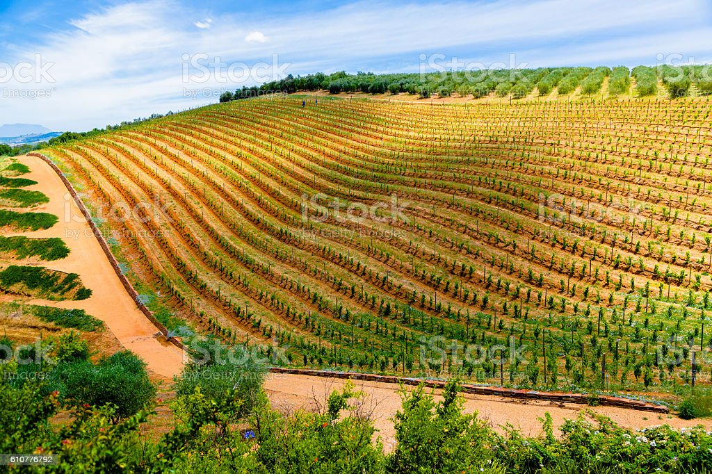Vineyards in South Africa stock photo