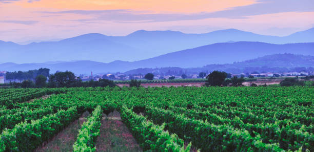 Vineyards in south of France languedoc roussillon at sunset stock photo