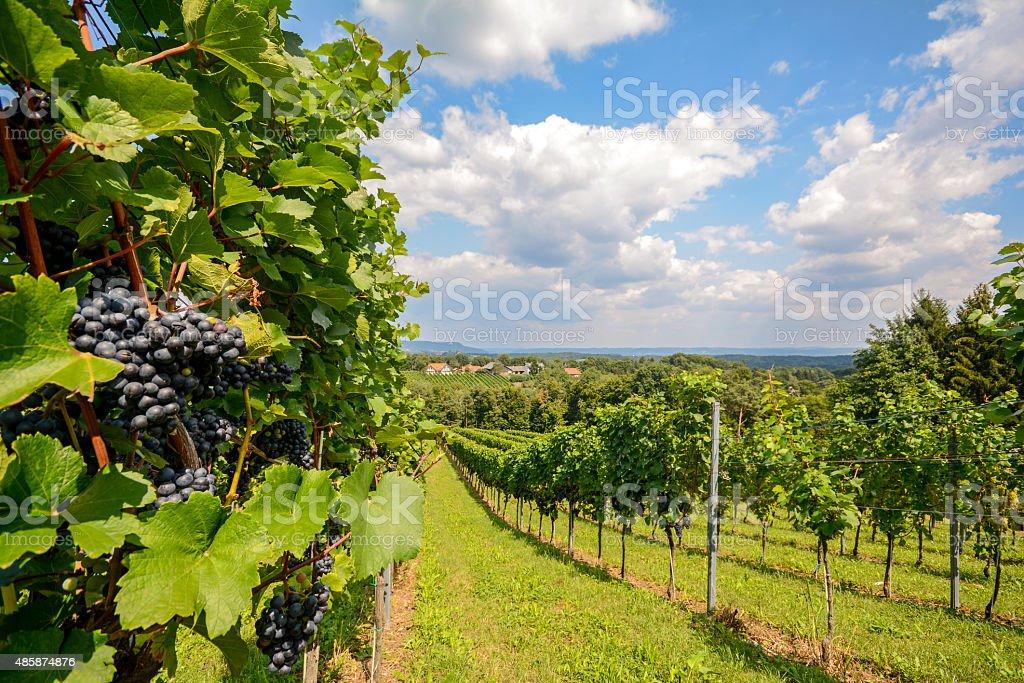 Vineyards in Southern Styria near Gamlitz before harvest, Austria stock photo