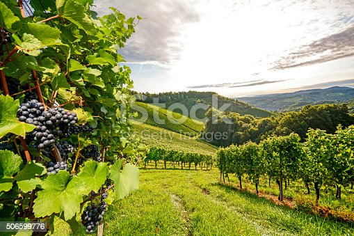 Vineyards in Southern Styria near Gamlitz before harvest, Austria
