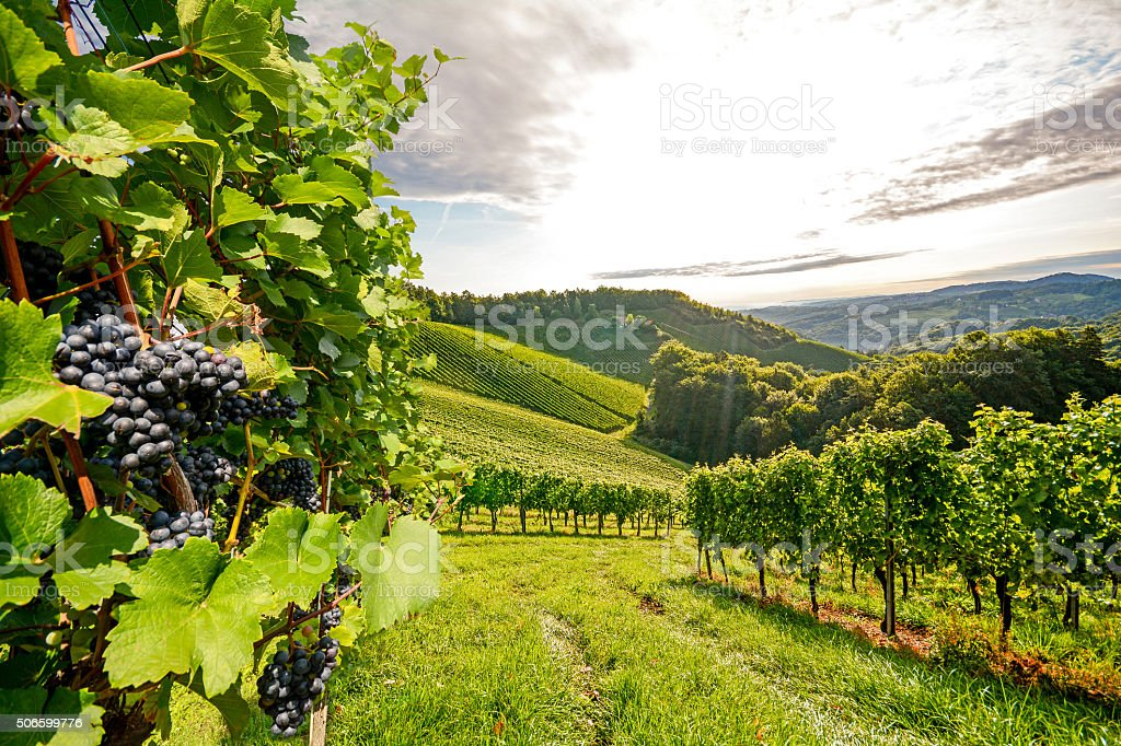 Vineyards in Southern Styria near Gamlitz before harvest, Austria stock photo