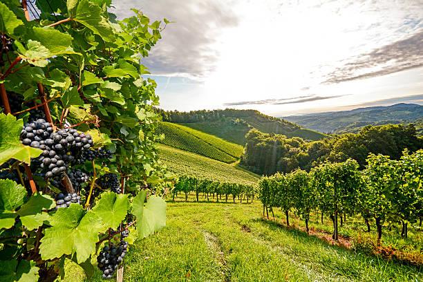 weinberge im südlichen steiermark nahe gamlitz vor ernte, österreich - traubensorten stock-fotos und bilder