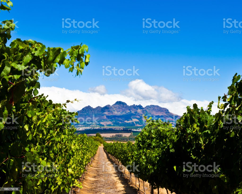 Vineyards in Stallenbosch royalty-free stock photo