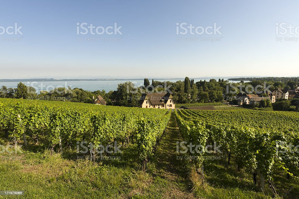 Vineyards in Switzerland on Neuchatel lake at summer stock photo