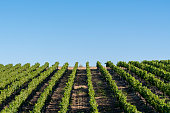 Rows of wine grapes grow in the wine region of Temecula, California