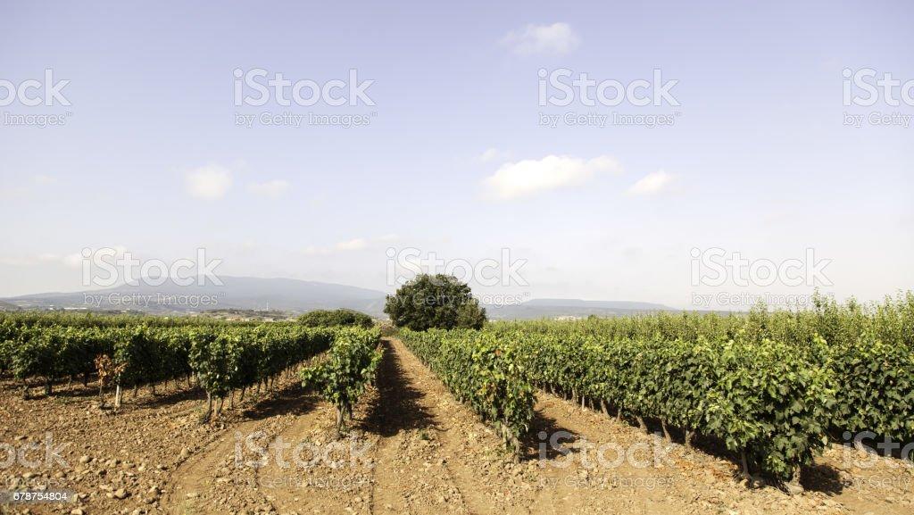 Vignes dans la campagne photo libre de droits