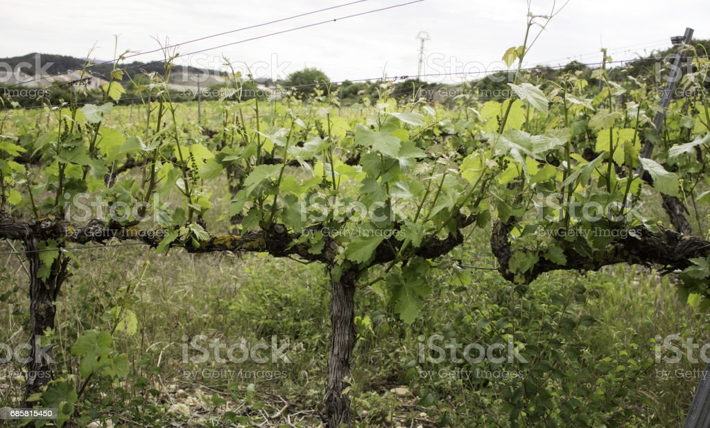 Vineyards in the countryside stock photo