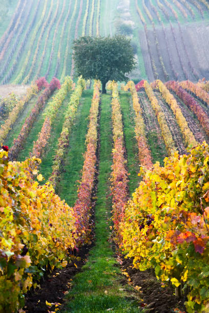 Vineyards in the fall with tree,  South Moravia Vineyards in the fall with tree,  South Moravia, Czech Republic moravia stock pictures, royalty-free photos & images