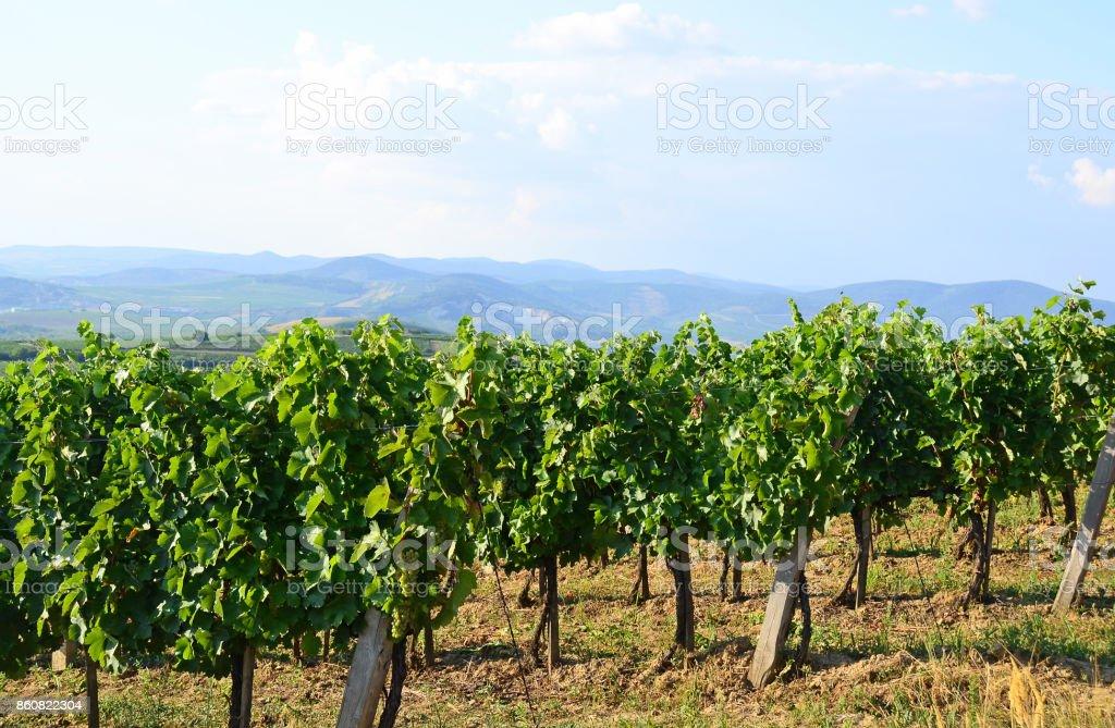 Vineyards in the hill-side near Tokaj city, Hungary stock photo