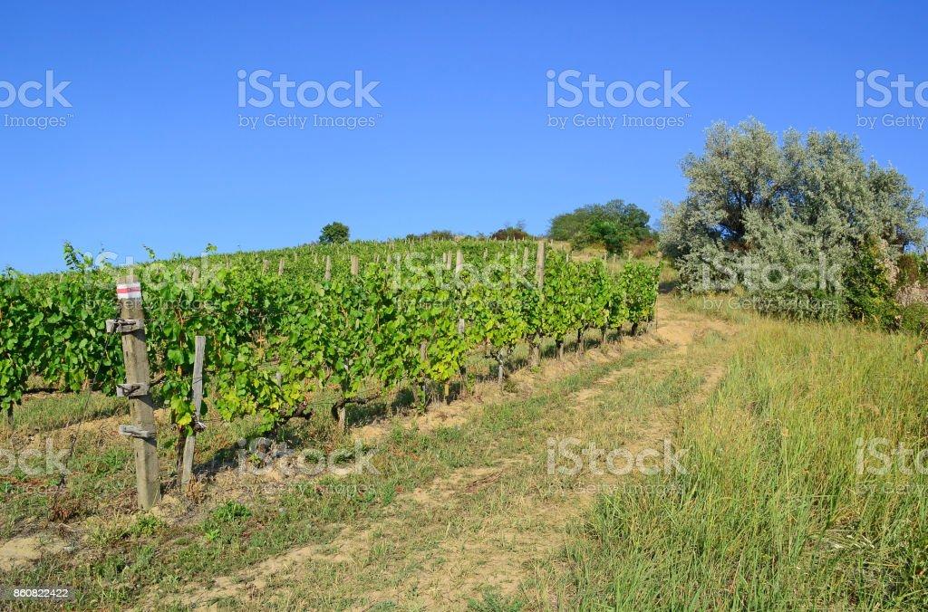 Vineyards in the hill-side near Tokaj city, Hungary'n stock photo