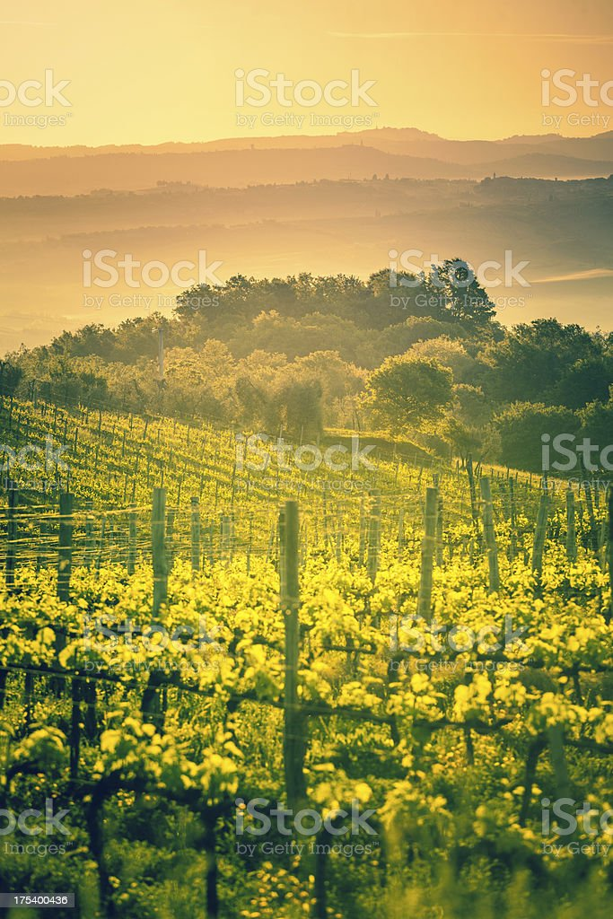Vineyards in Tuscany at Sunrise, Chianti Region stock photo