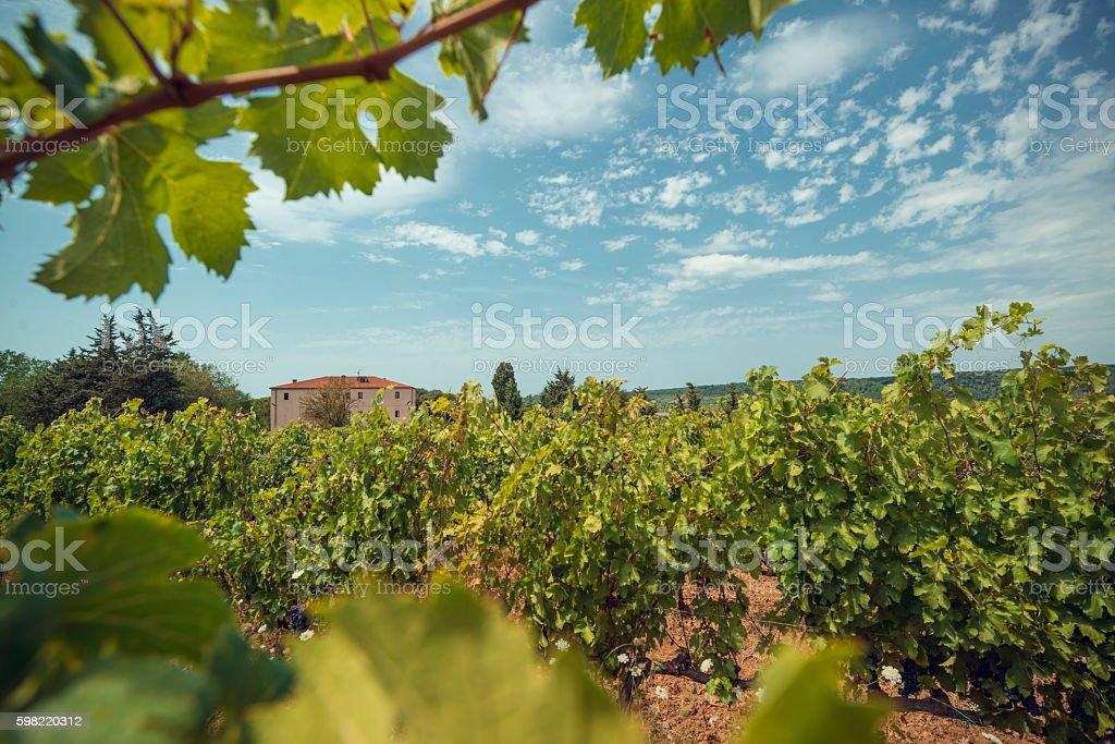 Vineyards in TuscanyVineyards in Tuscany stock photo