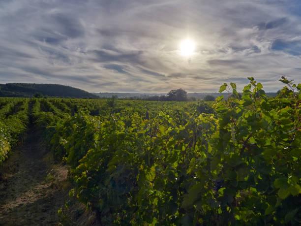 Vineyards in Vrancea, Romania, at harvest time stock photo