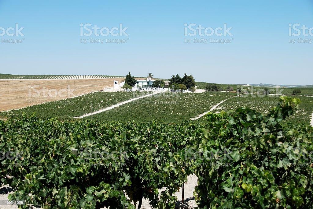 Vineyards, Jerez de la Frontera. stock photo