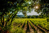 Vineyard with windbreak, Napa Valley, California.