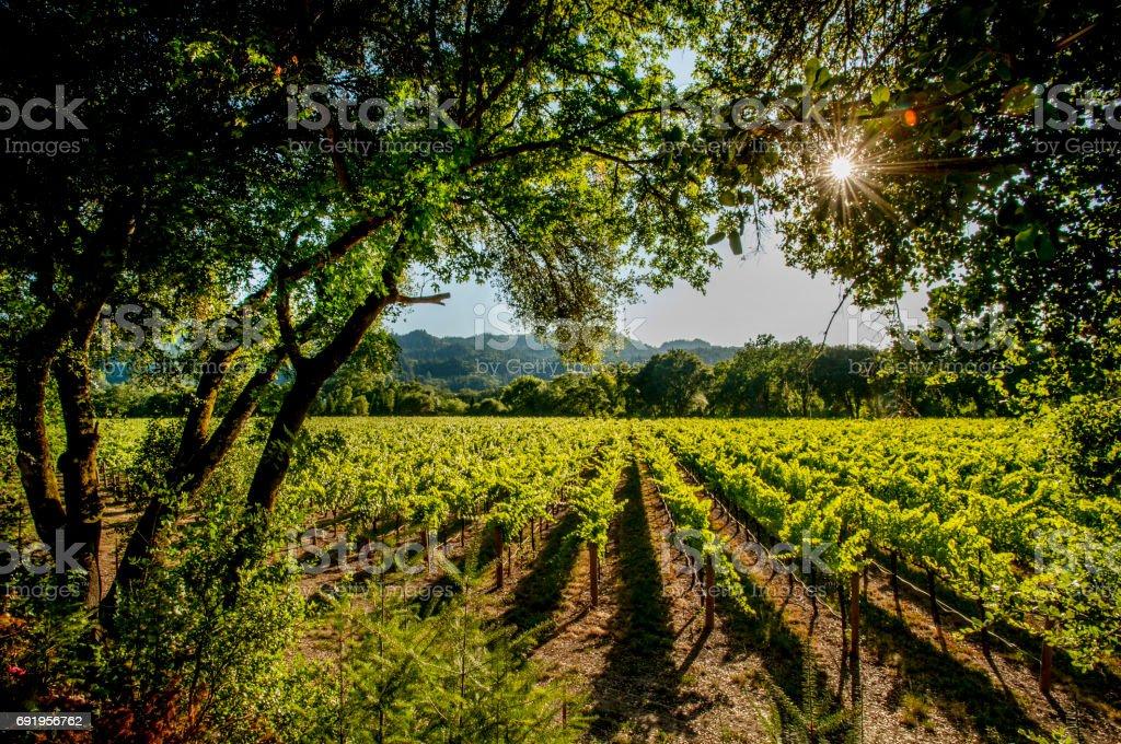 Vineyards, Napa stock photo