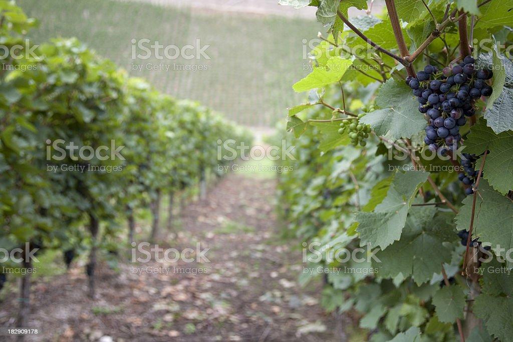 Vineyards near Cochem, Germany. royalty-free stock photo