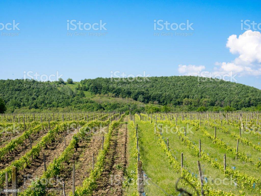Vineyards near Focsani, Romania, in spring stock photo