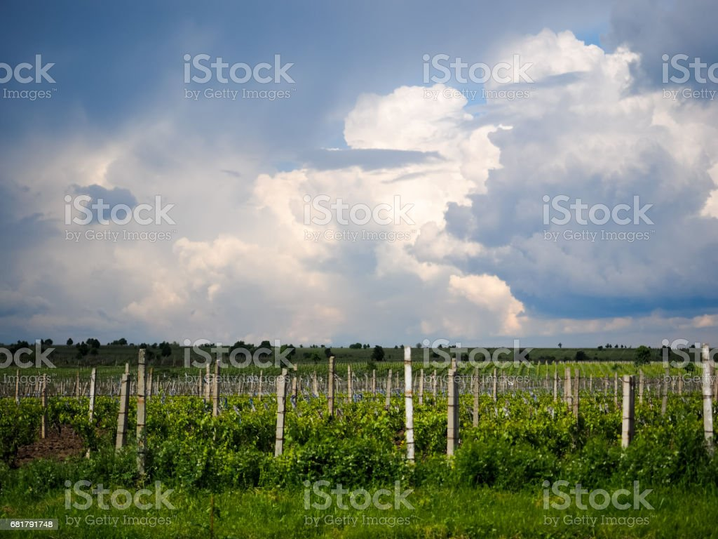 Vineyards near Focsani, Romania stock photo