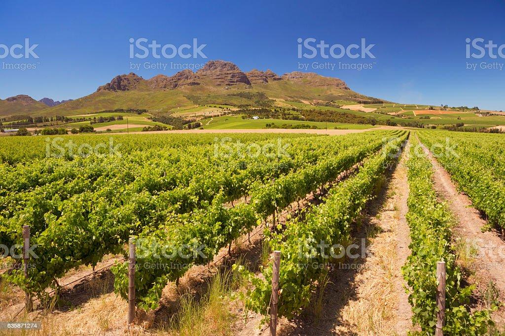 Vineyards near Stellenbosch in South Africa stock photo