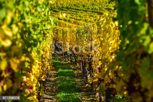 925850210 istock photo Vineyards of alsace - close to small village Hunawihr, France 621356028