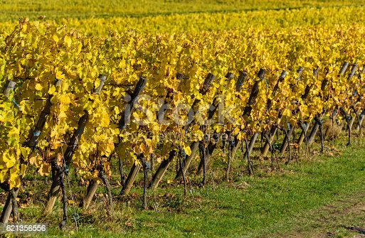 925850210 istock photo Vineyards of alsace - close to small village Hunawihr, France 621356556