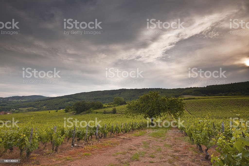 Vineyards of Burgundy stock photo