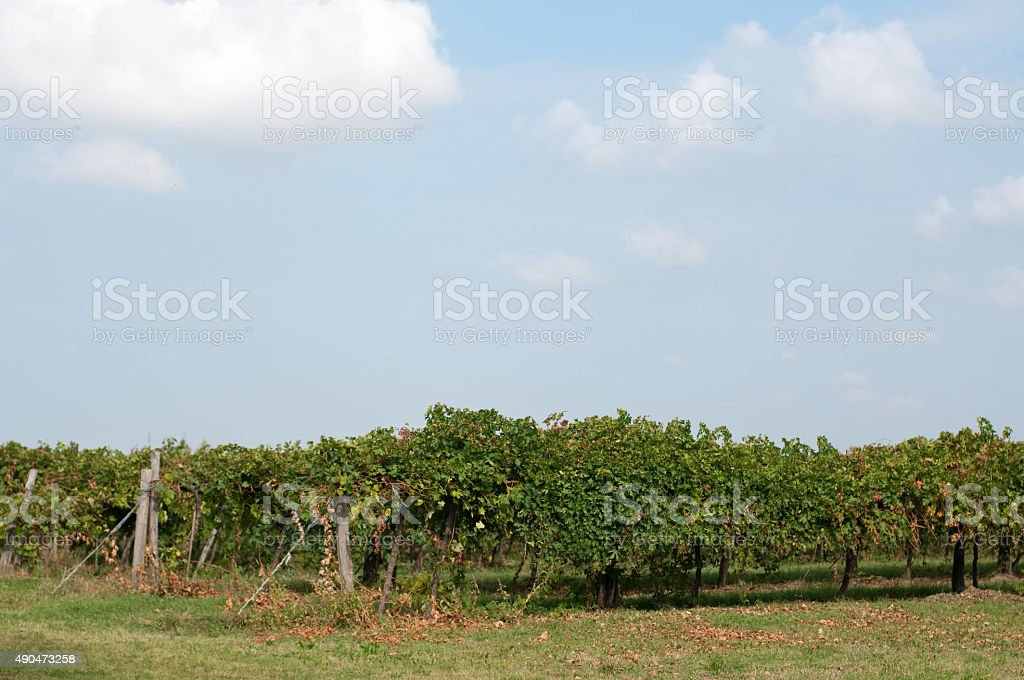 Vineyards of Lambrusco , a typical Italian grape stock photo