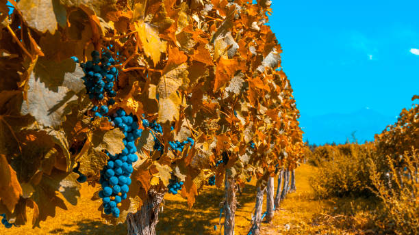 Vineyards of Mendoza in autumn colors, Argentina stock photo