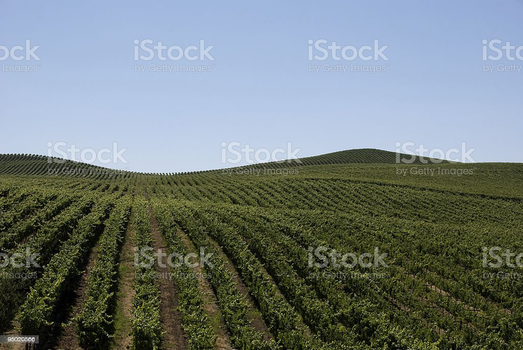 Vineyards of Northern California stock photo