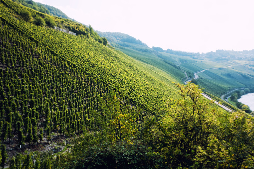 Vineyards of the Moselle Valley in Germany
