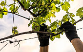 Gardener caring for spring branches of grapes. Growing vines and stonework in Napa Valley, California, USA