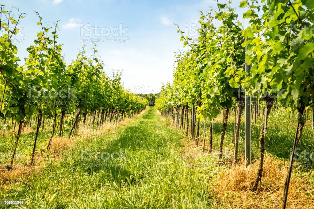 Vineyards of Vienna stock photo