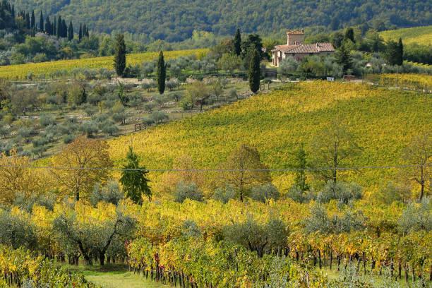 Weinberge & Olivenbäume in Panzano, Italien – Foto