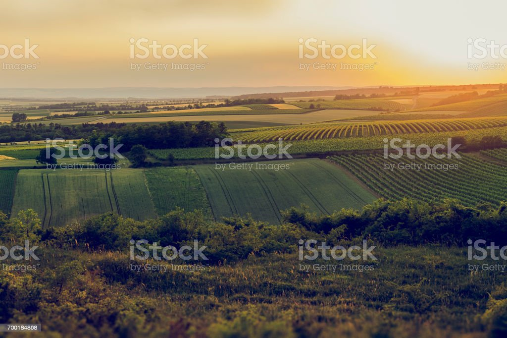 Weinberge am Abend um den Hügel herum. – Foto