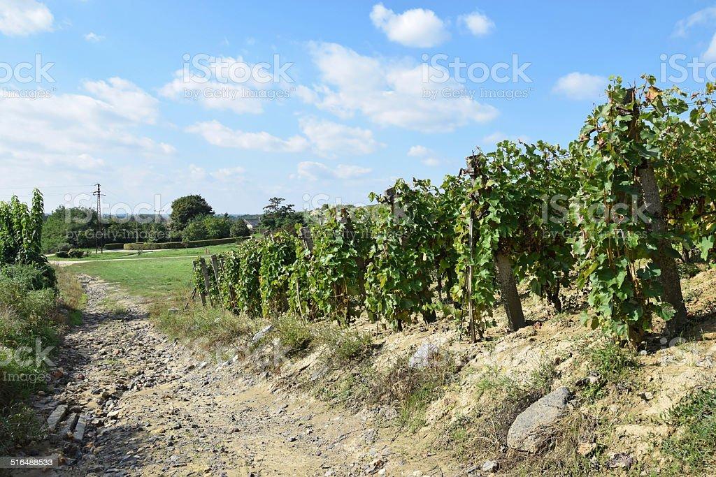 Vineyards on the hillside stock photo