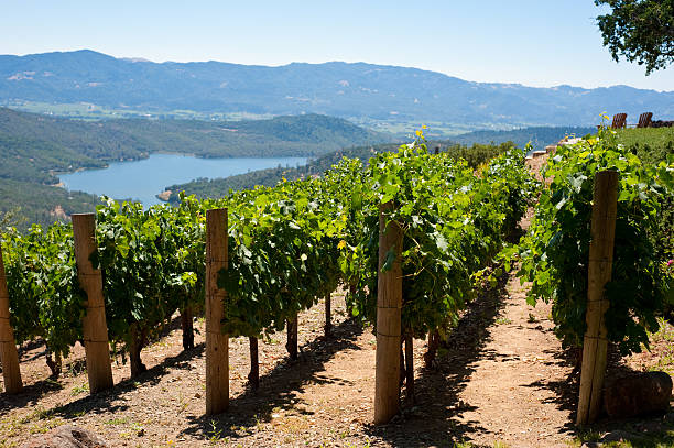 Vineyards Rows of hillside vineyards above Napa Valley, lake in background. sonoma county stock pictures, royalty-free photos & images