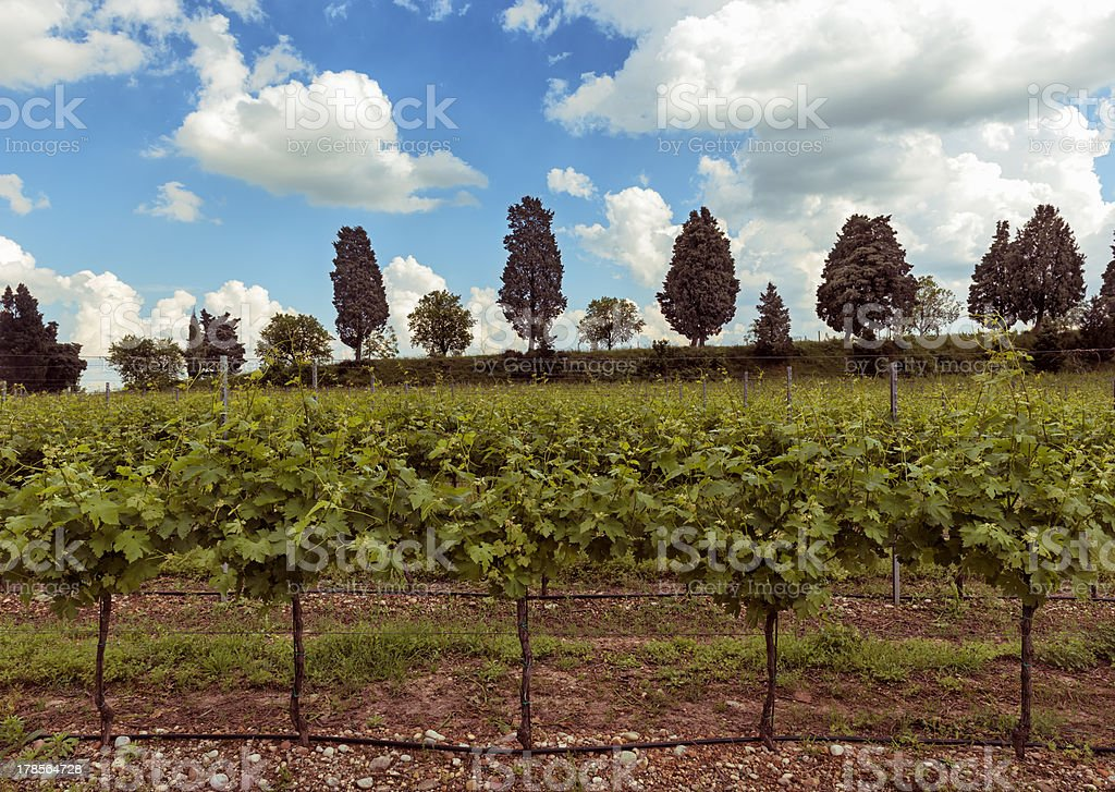 vineyards stock photo