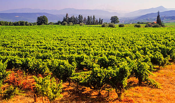 vineyards provecale vineyards provence france  french wine growing var stock pictures, royalty-free photos & images
