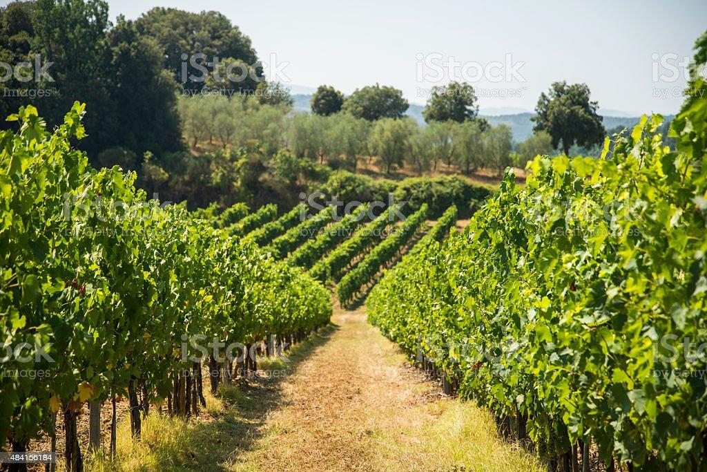 Vineyards Vineyards in Tuscany 2015 Stock Photo