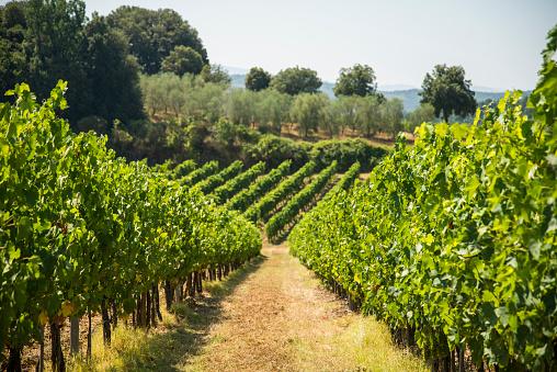 Vineyards Stock Photo - Download Image Now