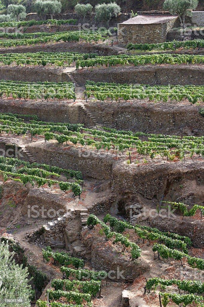Vineyards, Portugal royalty-free stock photo