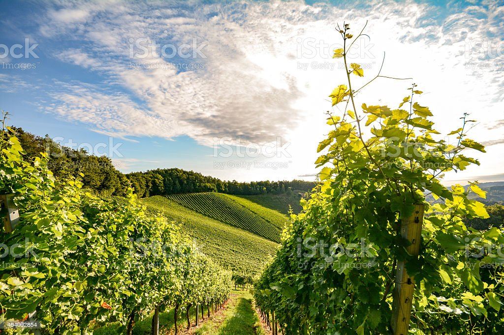 Vineyards short before harvest, Southern Styria near Leibnitz Austria stock photo