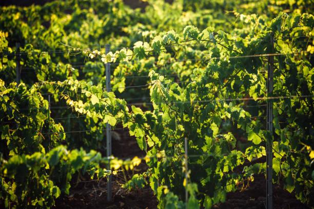 Vineyards - Sicily stock photo