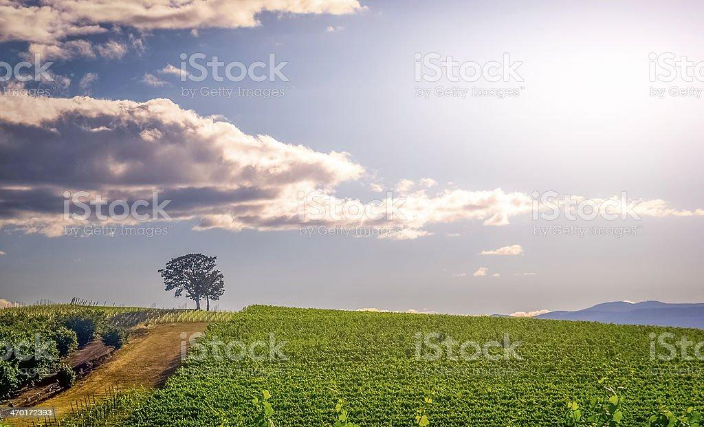 Vineyard's View stock photo